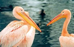 Pelikan, Rosapelikan - Great white pelican