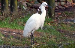 Seidenreiher - Little Egret