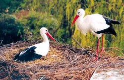 Storch, Weißstorch - White stork