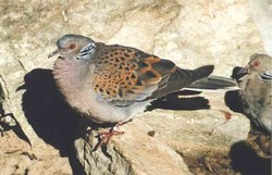 Taube, Turteltaube - European turtle dove