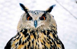 Uhu - Eagle Owl