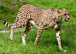 Gepard - Cheetah