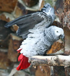 Papagei, Graupapagei  - Grey parrot