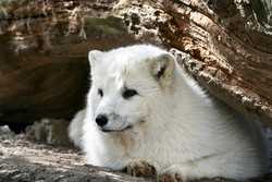 Eisfuchs - Arctic Fox