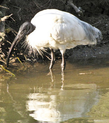 Ibis, Schwarzkopfibis - Black-headed ibis