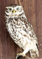 Kauz, Steinkauz - Little owl