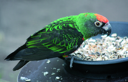 Papagei, Kongopapagei - Red-fronted parrot