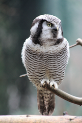 Eule, Sperbereule - Northern hawk-owl