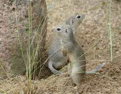 Europäischer Ziesel - European ground squirrel